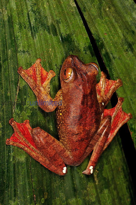 Harlequin Tree Frog (Rhacophorus pardalis), Forest Research institute of Malaysia, West Malaysia