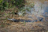 American Alligator in the Everglades.