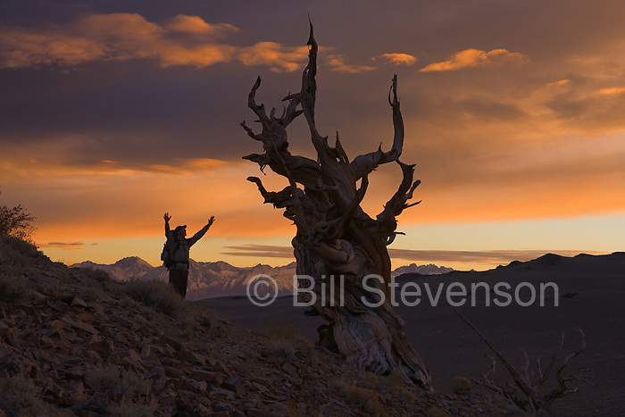 A picture of a man raising his arms in wonder next to a bristlecone pine at sunset