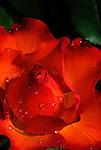 Red rose, Heirloom Roses, Oregon