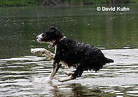 0808-0806  English Springer Spaniel Jumping off Dock into Water, Canis lupus familiaris © David Kuhn/Dwight Kuhn Photography.