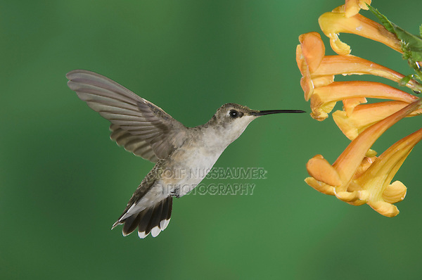 Black-chinned Hummingbird, Archilochus alexandri, female feeding on Yellow Trumpet Flower(Tecoma stans) ,Tuscon, Arizona, USA, September 2006