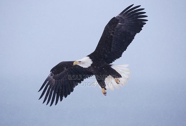 Bald Eagle (Haliaeetus leucocephalus), adult in flight snowing, Homer, Alaska, USA