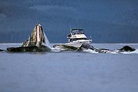 adult humpback whales, Megaptera novaeangliae, bubble net feeding, Lady Chatham Strait, Alaska, USA, Pacific Ocean