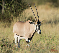 Portait of male Beisa Oryx (Oryx gazella beisa) in morning light, Samburu