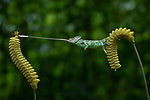 Chameleon snatches dragonfly from flower by Tanto Yensen