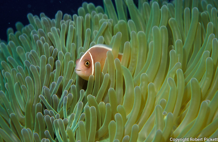 Pink Anemone Fish, Amphiprion perideraion, in anemone, Kapali, Celebes Sea, Sabah Borneo