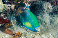 white-eyed moray, Siderea thyrsoidea, investigating Bleeker's parrotfish, Scarus bleekeri, terminal male phase, sleeping in mucus cocoon at night, Mabul Island, Sabah, Malaysia, Celebes Sea, Indo-Pacific Ocean