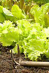 Close-up of summer lettuce and three prong spade.