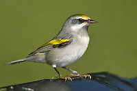 Golden-winged Warbler - Vermivora chrysoptera - female