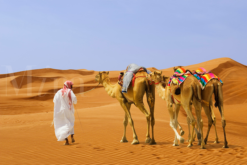 Trainer leads adult and three young racing camels.  Dubai. United Arab Emirates.
