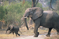 A mother elephant and its baby of no more than a few months in Chitabe. Although a mother elephant will take special care of its offspring, all the females in the herd will look out for it.