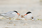 Common Terns (Sterna hirundo) pair at nest, one feeding fish to chick, second chick being brooded, Nickerson Beach, Long Island, New York, USA