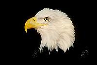 521040011 portrait of a wildlife rescue adult bald eagle hailaeetus leucocephalus in colorado