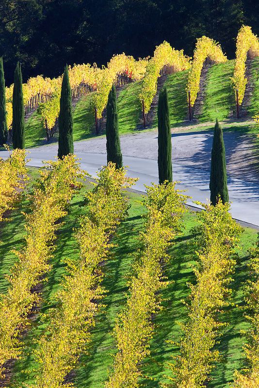 View of vineyards and cyprus lined driveway  in front of Castello di Amorosa. Napa Valley, California. Property relased