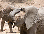 .Elephant orphan scratches behind its ear after a mud bath.
