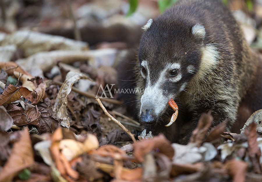 This coati was digging up crabs.