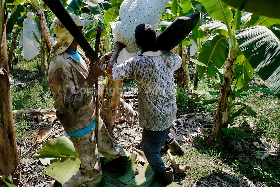 A Colombian worker cutting a bunch of crude bananas on the banana plantation in Aracataca, Colombia, 14 March 2006. Eighty percent of the exported bananas in the world are grown in Latin America. Local farms have no other alternative than to sell for a price offered by the multinational company. When working conditions and ecology is in question, the corporations do not have any responsibility as they do not own plantations. Local governments in the attempt of organizing banana export provide low duty taxes on export, they try to eliminate social and enviromental politics to attract the big companies to their countries.
