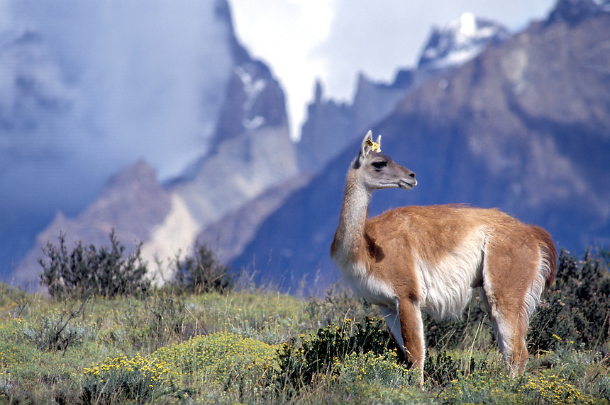 A guanaco grazes at the foot of the peaks of Torres del Paine National Park in southern Chile.