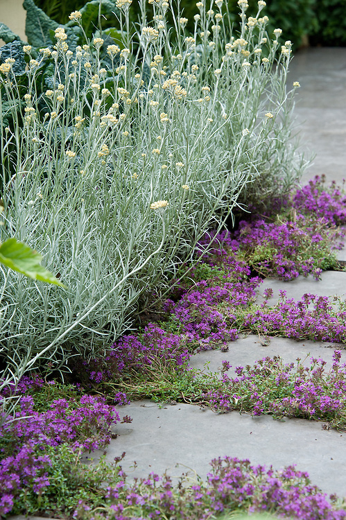 Flowering thyme between paving slabs, The Deptford Project: An Urban Harvest, Small Garden designed by Alex Bell, Hampton Court Flower Show 2011.