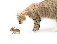Cat looking at a baby cottontail rabbit