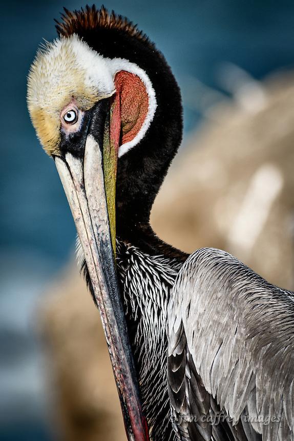 A portarait of a Brown Pelican preening at La Jolla Cove near San Diego, California.