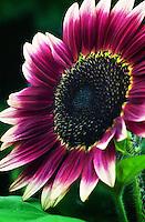 Strawberry Blonde Sunflower - Helianthus annuus