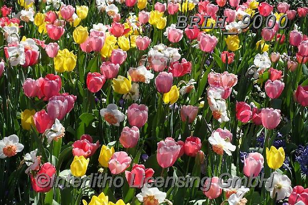 Luiz, FLOWERS, BLUMEN, FLORES, photos+++++,BRLH9000,#f#, EVERYDAY ,tulips ,allover