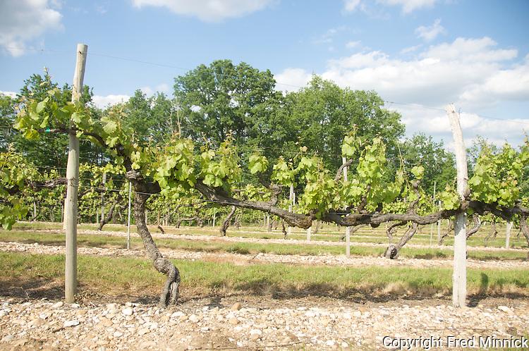 Semilion vines in Cahors, FranceChateau Du Cedre in Cahors, France, is ran by winemaker Pascal et Jean-Mar Verhaeghe