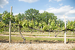 Semilion vines in Cahors, FranceChateau Du Cedre in Cahors, France, is ran by winemaker Pascal et Jean-Mar Verhaeghe