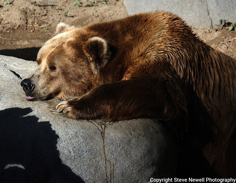 A Bear at the SanDiego Zoo.