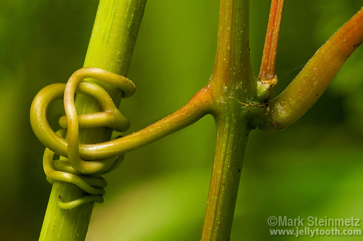 Thigmotropism. Tendrils of the vine Frost Grape (Vitis vulpina) clasp and coil around the stem of a tall herbaceous plant, Joe Pye Weed (Eupatorium purpureum). The coiling growth response to a touch stimulus is known as thigmotropism.