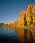 Autumn Poplar trees. Lake Wanaka. Otago New Zealand. Vertical Format.