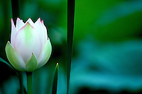 White lotus blossom edged with pink