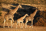 Giraffes, Giraffa camelopardalis, small group with baby, Kgalagadi Transfrontier Park, Northern Cape, South Africa