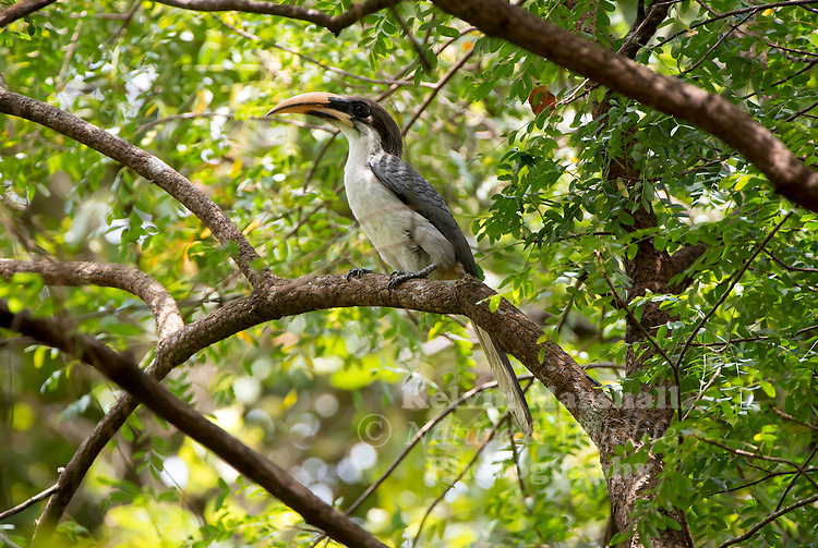 Sri Lanka grey hornbill (Ocyceros gingalensis) is a bird in the hornbill family and a widespread and common endemic resident breeder in Sri Lanka. Hornbills are a family of tropical near-passerine birds found in the Old World. Habarana - Sri Lanka.