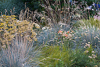 Helictotrichon sempervirens 'Saphirsprudel' (Blue oat grass) with Hakonechloa macra 'Aureola' and flowering Achillea in meadow Denver Botanic Garden