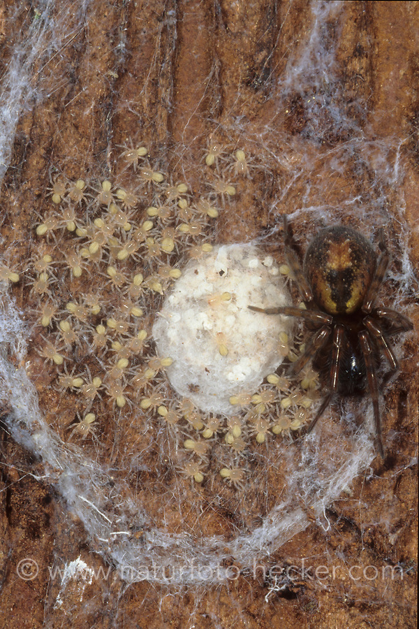 Fensterspinne, Finsterspinne, Kellerspinne, im Nest, Brutnest mit Jungtieren, Jungspinnen, Amaurobius fenestralis, Lace weaver spider, lace-webbed spider, window lace weaver, House spider mouthparts, Finsterspinnen, Fensterspinnen, Amaurobiidae