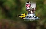Male American goldfinch perched on a custom Wisconsin Badgers bird feeder.