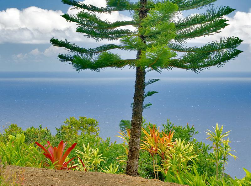 Norfolk Island pine tree and ocean from Garden of Eden Botanical Gardens. Maui. Hawaii