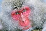 Japan, Nagano, Jigokudani, Snow Monkey, Japanese Macaque, (Macaca fuscata)