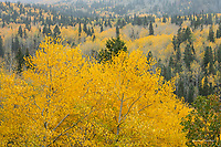 Aspen trees in the Wasatch Mountains