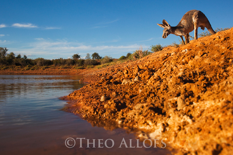 Australia,  NSW, Sturt National Park; red kangaroo approaching water hole (Macropus rufus); the red kangaroo population increased dramatically after the recent rains in the previous 3 years following 8 years of drought