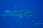 Blue Corner, Palau -- A gray reef shark and a whitetip reef shark crossing paths.