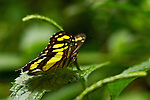 Malachite butterfly perched on a green leaf with its wings spread, ready to take flight, against a multi-green background.