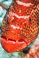 Tiger grouper, Mycteroperca tigris, with injured eye, Bonaire, Caribbean Netherlands, Caribbean