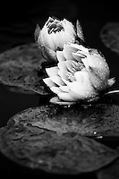 Water Lilies,    35mm image on Ilford Delta 100 film
