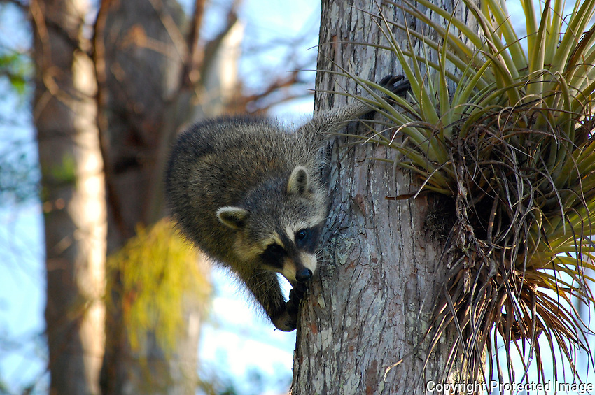 "Raccoons are ""characters"" popping up when often least expected. Some are photogenic and others seek to ""escape"" immediately. The inquisitive raccoons are easily photographed with a ""long lens"". Photographed at Green Cay Wetlands, Boynton Beach, Florida."