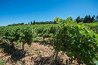 France, Provence, Vaucluse region, Vineyards at Chateauneuf-du-Pape, Skalli winery, 12 k's north of Avignon.