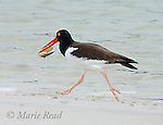 American Oystercatcher (Haematopus palliatus) carrying a shellfish, Florida, USA